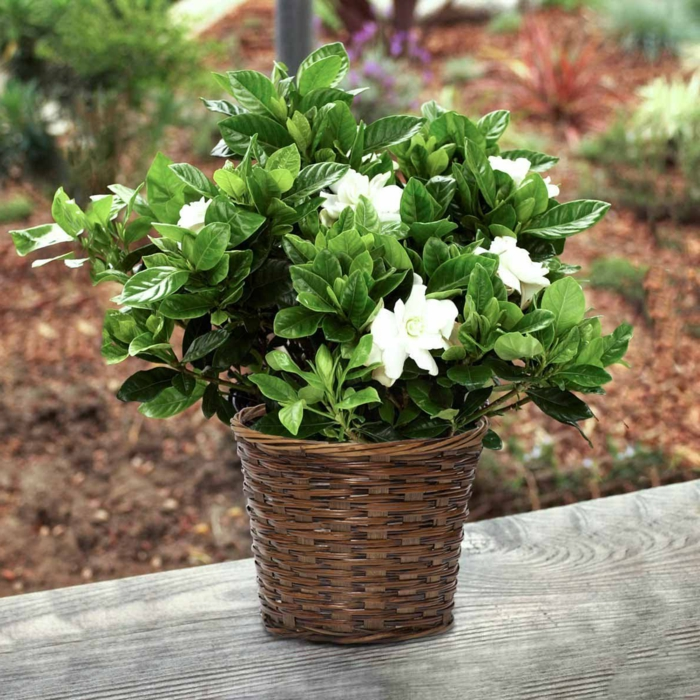 Gartenpflanzen durch gardenien einen herrlichen garten for Blumentopf dekorieren anleitung
