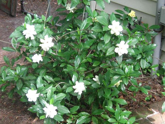 gartenpflanze gardenie jasminrose strauch gartenideen