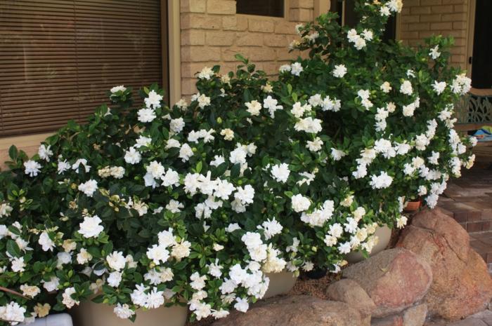 gartenpflanze gardenie steine garten gestalten ideen
