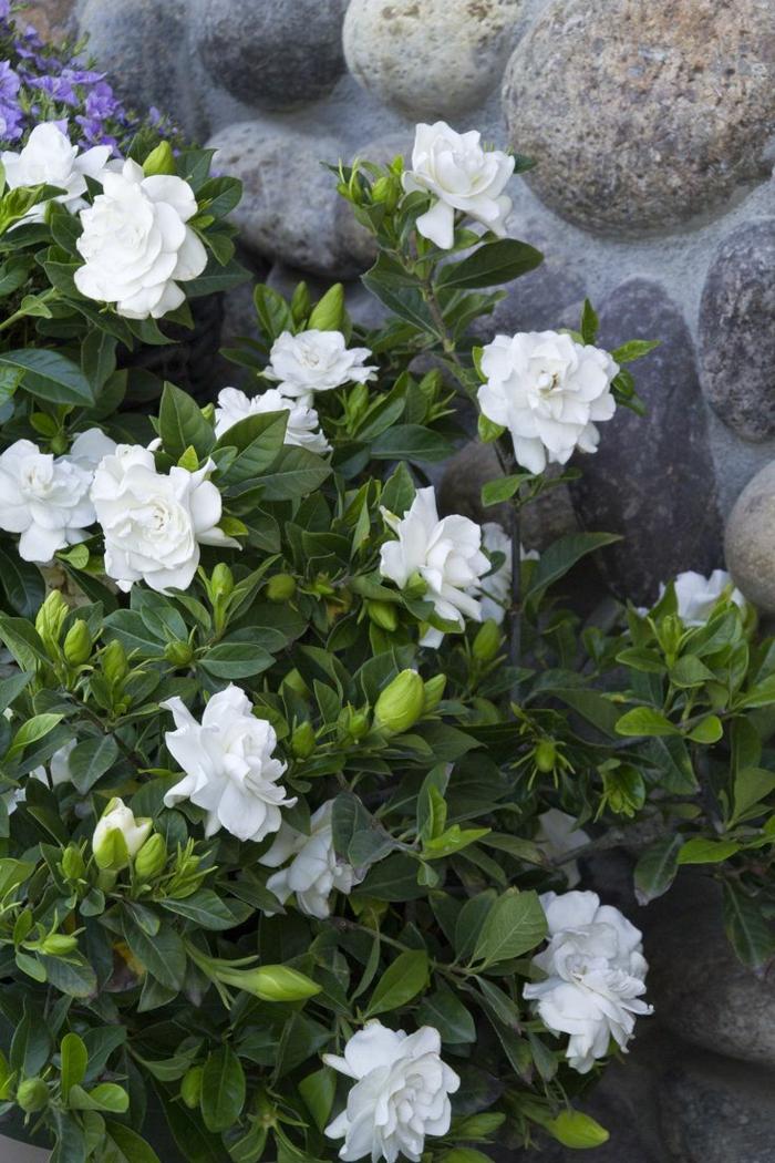 gartenpflanze gardenien strauch garten gestalten