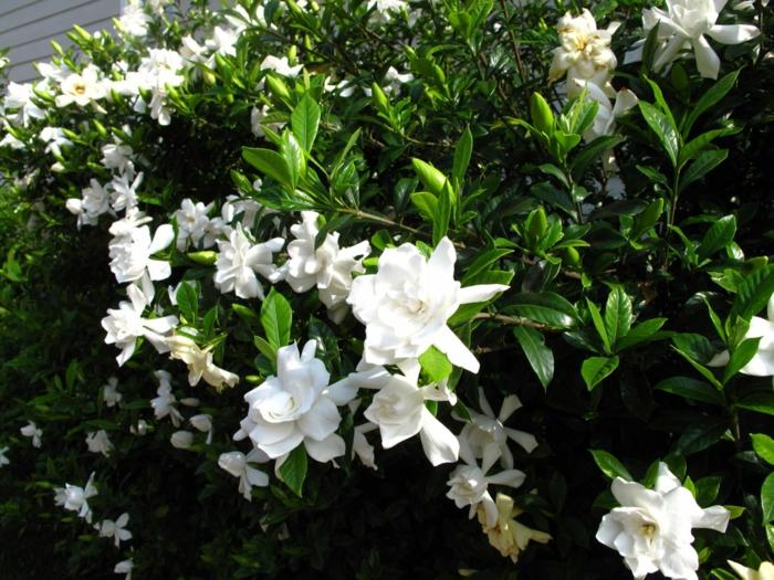 gartenpflanze pflanzen aussuchen gardenie weiß