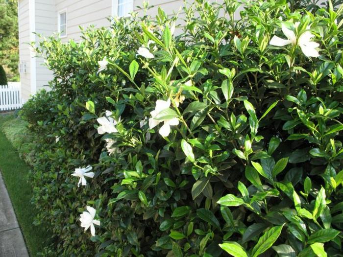 gartenpflanze sträuche gardenien weiße hausfassade