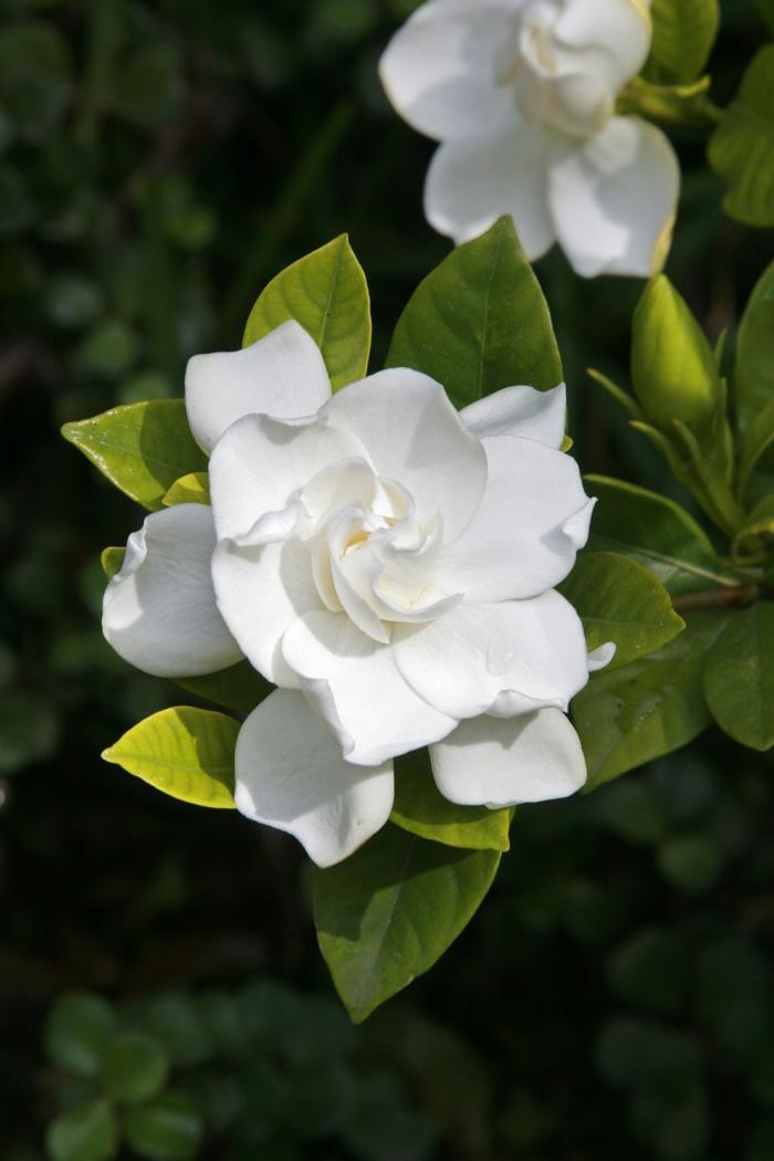 gartenpflanzen für den garten auswählen gardenie