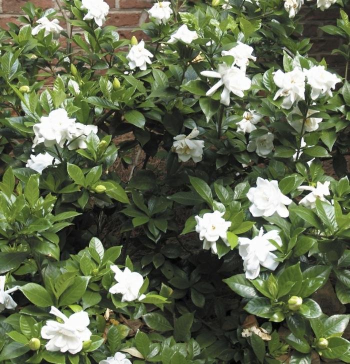 gartenpflanzen gardenien strauch garten gestaten ideen