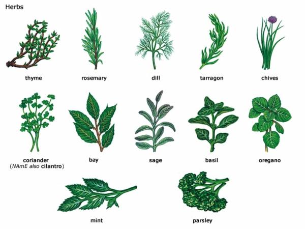 Kuchenkrauter und heilpflanzen fur ein langes leben for Types of trees and their meanings