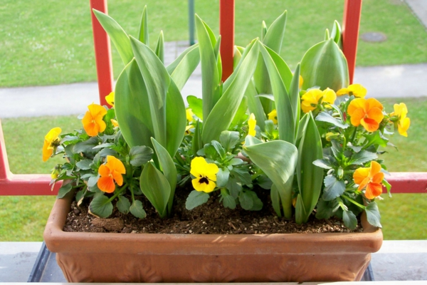 pflegeleichte balkonpflanzen Stiefmütterchen gelb frisch