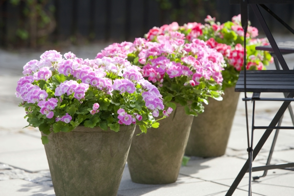 pflegeleichte balkonpflanzen geranien blumentöpfe farbig schön