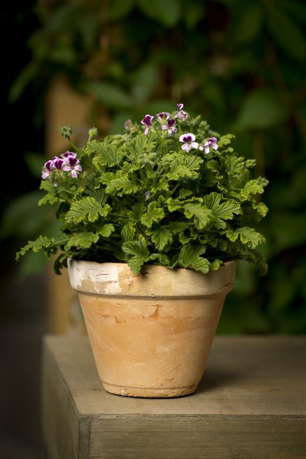 pflegeleichte balkonpflanzen geranien pelargonium