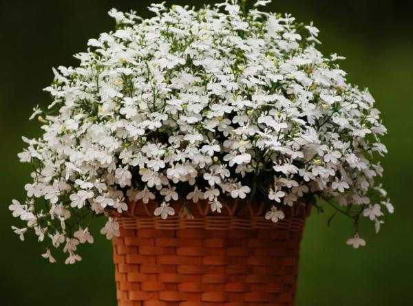 pflegeleichte balkonpflanzen lobelien weiß