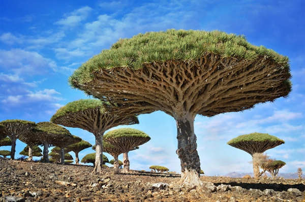 unser planet dragonblood bäume socotra yemen