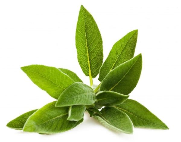 salbei für langes leben kräuter und heilpflanzen
