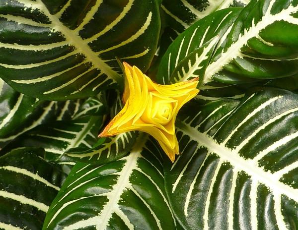schöne zimmerpflanzen Glanzkölbchen ausgefallene gelbe blüte