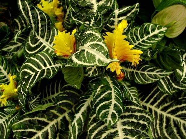 schöne zimmerpflanzen Glanzkölbchen dekoideen zuhause dekorieren