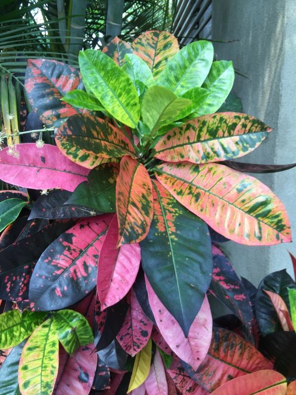 schöne zimmerpflanzen interessante färbung der blätter