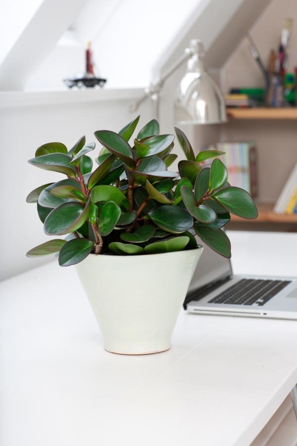 schöne zimmerpflanzen peperomia weißer blumentopf arbeitsplatz