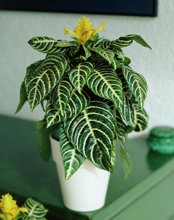 zimmerpflanzen Aphelandra squarrosa einblatt dekoideen
