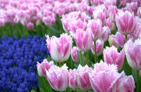 tulpen bilder rosa zart istanbul emirgan park