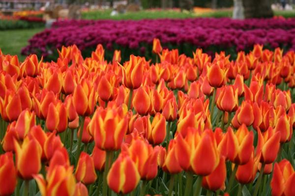 tulpen bilder türkei emirgan park festival