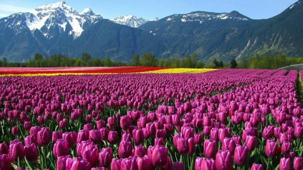 tulpen bilder türkei feld berge