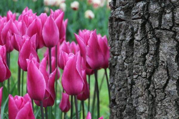 tulpen bilder türkei festival park emirgan