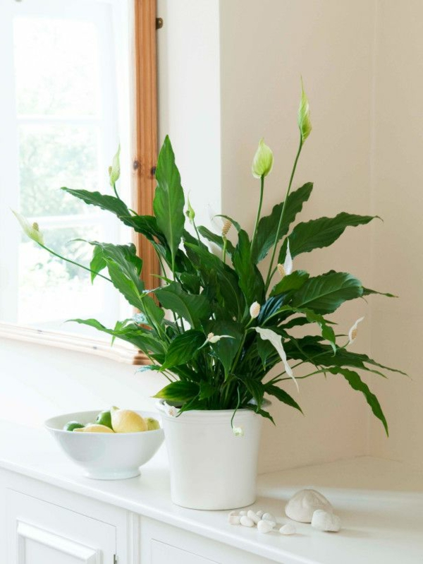 zimmerpflanzen einblatt dekoideen garten pflanzen