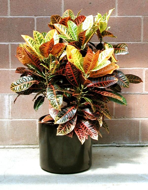 zimmerpflanzen kroton pflanze elegante deko zuhause