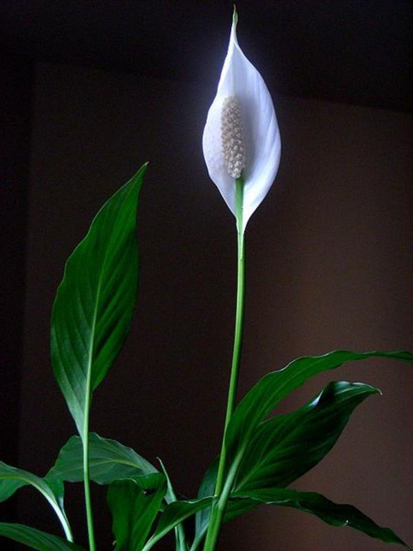 zimmerpflanzen schöne dekoideen einblatt blüte weiß