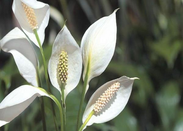 zimmerpflanzen schöne dekoideen einblatt saubere luft