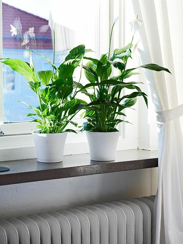 zimmerpflanzen schöne dekoideen zuhause einblatt