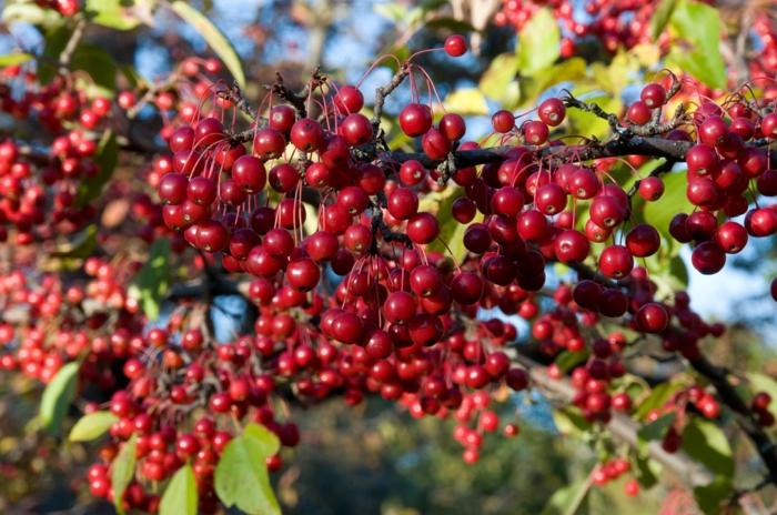 Aronia Arbutifolia Apfelbeere pflanze gesunde ernährung