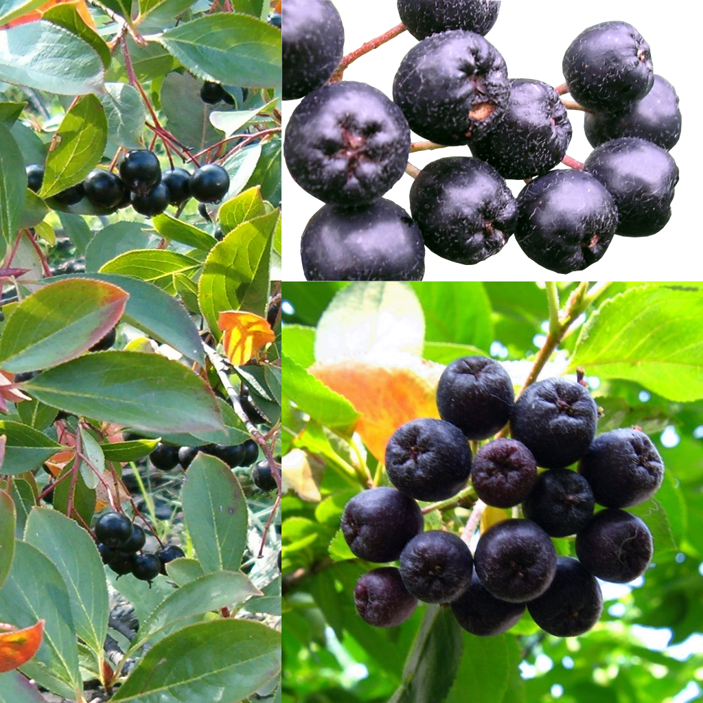 Aronia Melanocarpa Apfelbeere pflanze