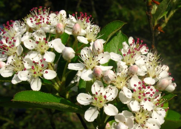 Aronia arbutifolia Apfelbeere pflanze blüten