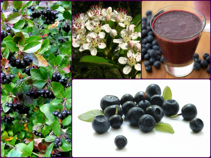 Aroniabeere Apfelbeere pflanze früchte saft