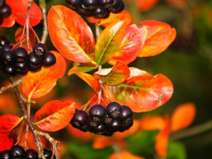Aroniabeere Apfelbeere pflanze gebüsch rote blätter