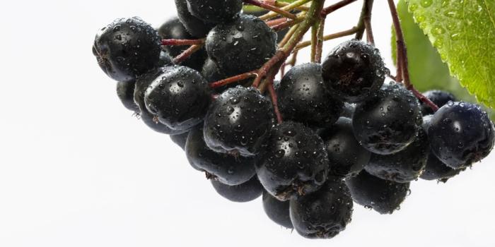 Aroniabeere Apfelbeere pflanze schwarz