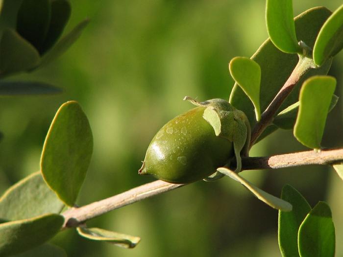 Pflanze Jojobaöl Haare Haut Schönheitstipps