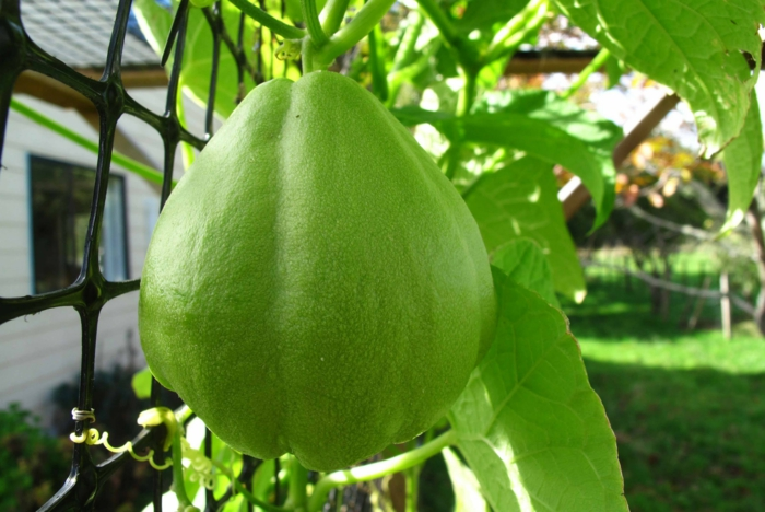 Chayote Birnenförmig Grün Pflanze