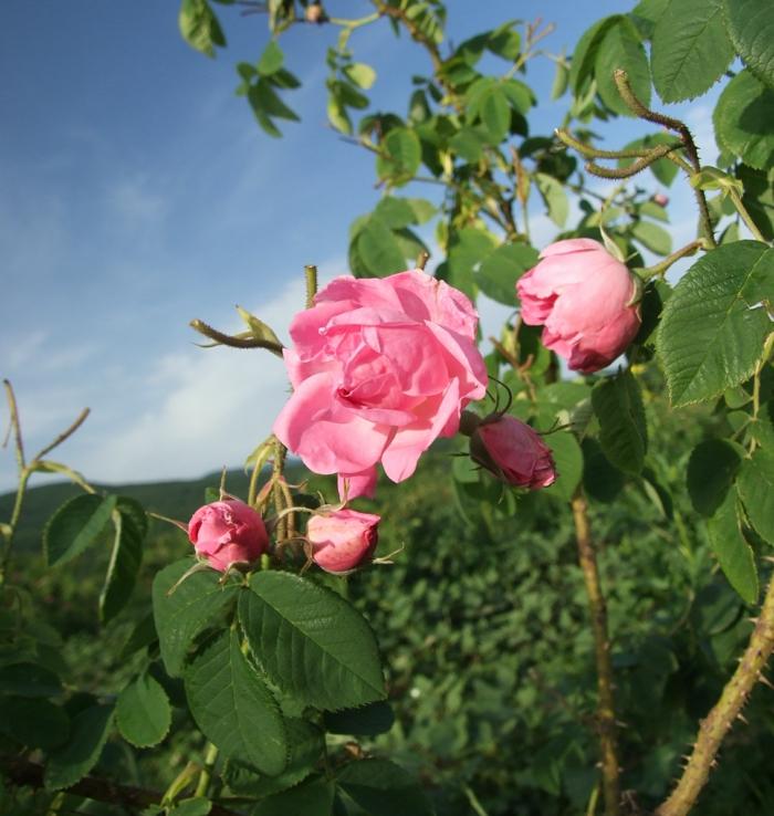 duftöle oregano bio rose damascena bulgarien