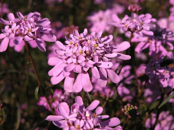 garten verschönern blumen Iberis umbellata lila blüten