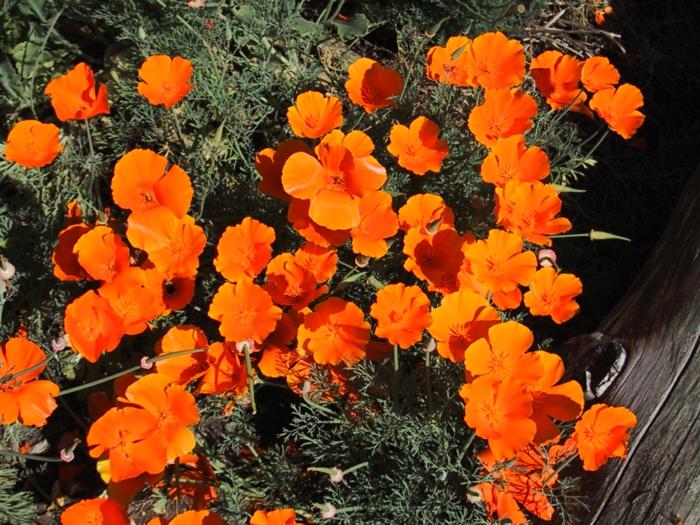 garten verschönern Kalifornischer Mohn orange blüten