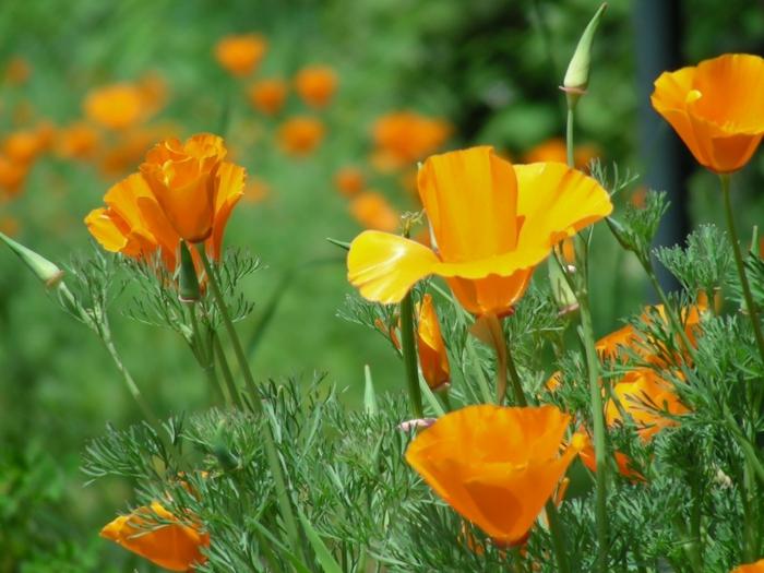 garten verschönern Kalifornischer Mohn sommer blumen