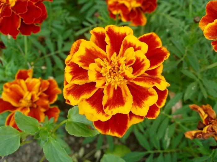 garten verschönern blumen sommer studentenblume gelb orange