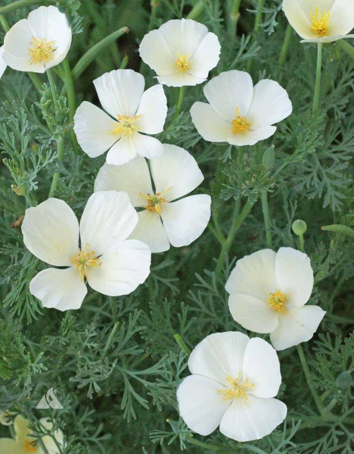 garten verschönern pflanzen sommerblumen Kalifornischer Mohn weiß
