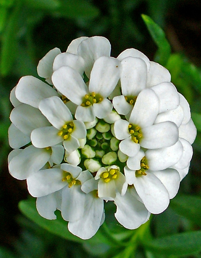 garten verschönern schleifenblume iberis sempervirens blüte weiß