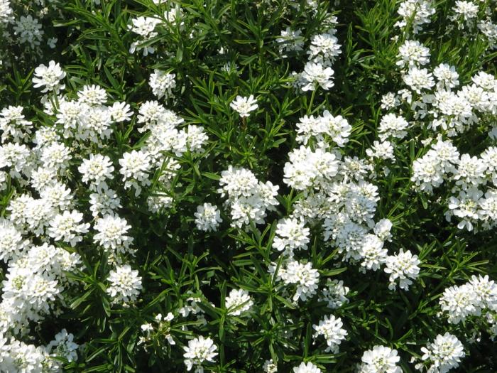 garten verschönern schleifenblume iberis sempervirens