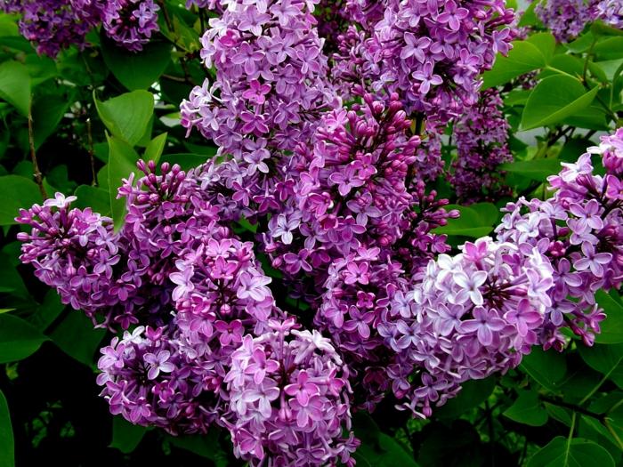 gartenpflanze flieder lilafarben garten busch