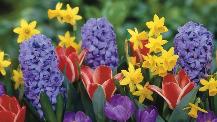 gartenpflanze frühllingsblumen narzisse tulpen hyazinthe