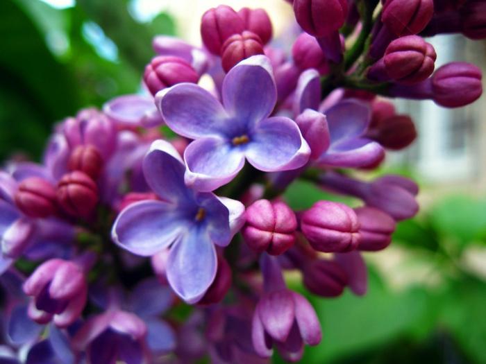 gartenpflanze gewöhnlicher flieder lila frische blüten