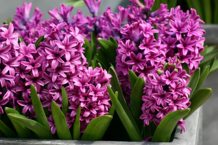 gartenpflanze hyazinthe violett frisch frühlingsboten