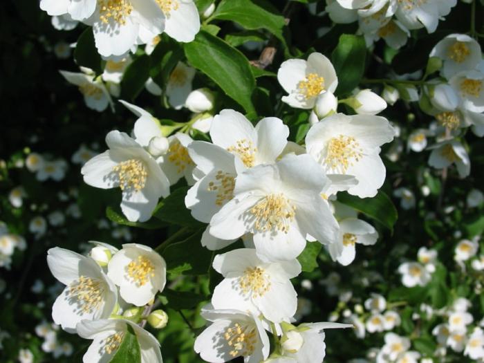 gartenpflanze jasmin pflanze weiße blüten garten
